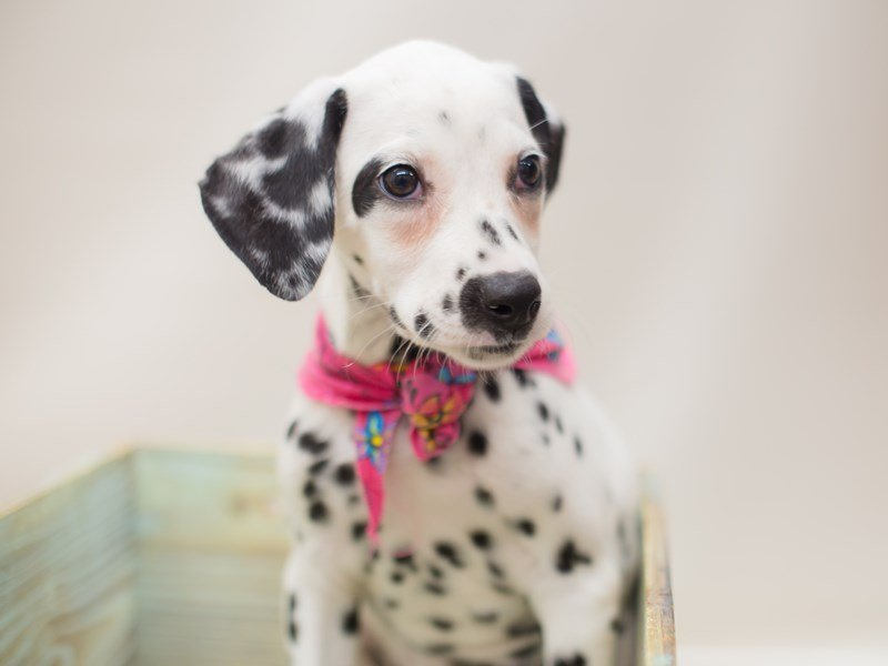Dalmatian-Female-WHITE W/ BLACK-2369197-Petland Wichita, KS