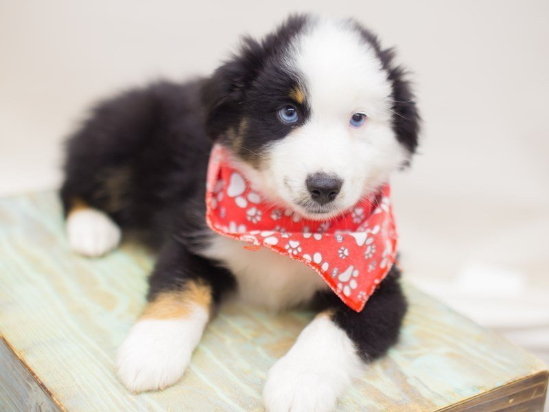 Miniature Australian Shepherd-Male-BLACK TRI-2369189-Petland Wichita, KS