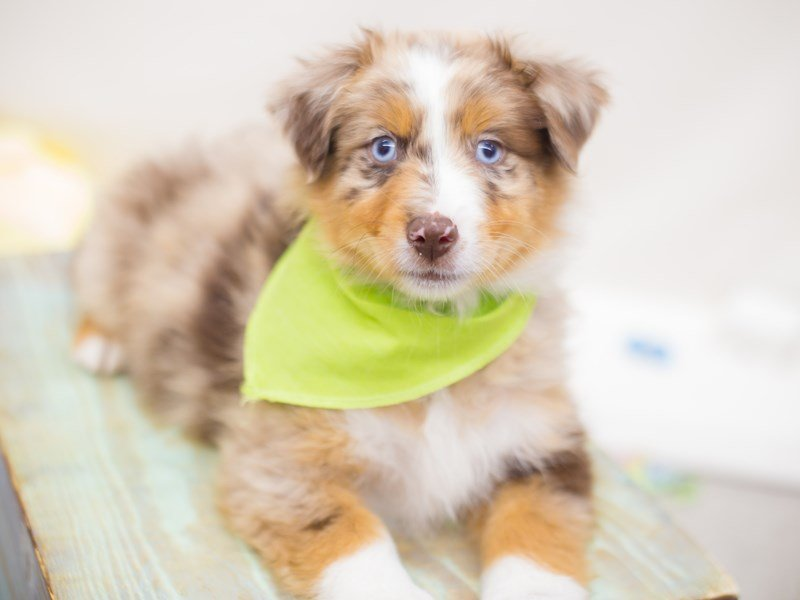 Miniature Australian Shepherd-Male-BLUE Merle-2369185-Petland Wichita, KS