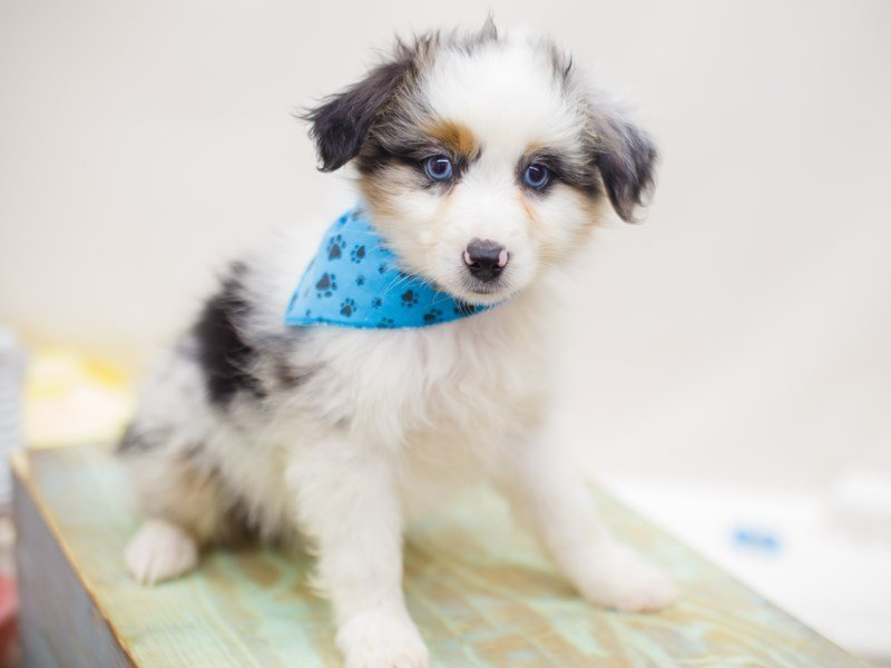 Miniature Australian Shepherd-Male-Red Merle-2369165-Petland Wichita, KS