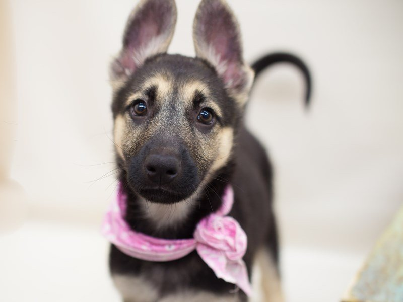 German Shepherd Dog-Female-Black & Tan-2367647-Petland Wichita, KS