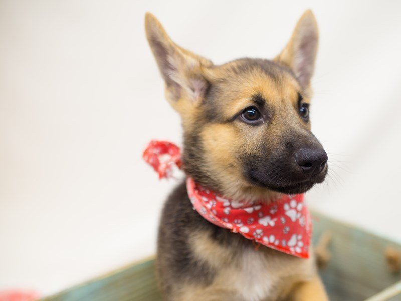 German Shepherd Dog-Male-Black & Tan-2367628-Petland Wichita, KS