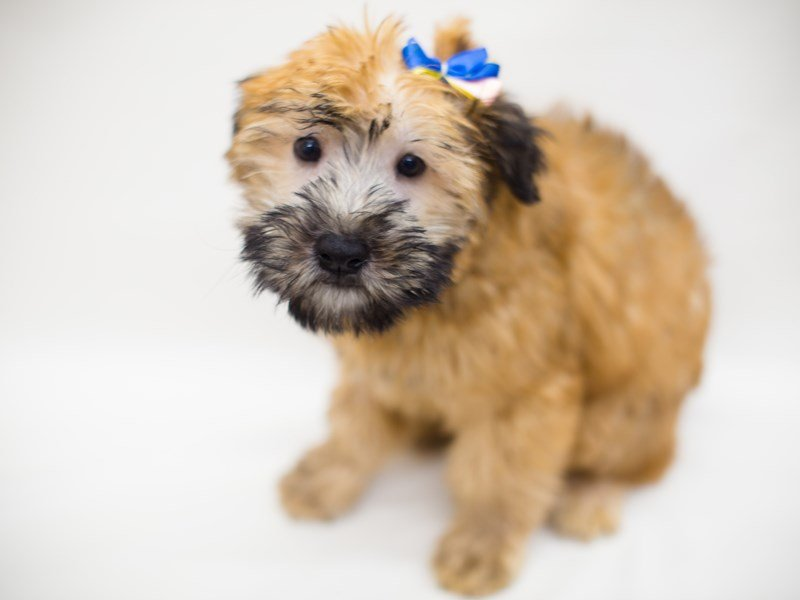 Soft Coated Wheaten Terrier-Male-Wheaten-2367606-Petland Wichita, KS