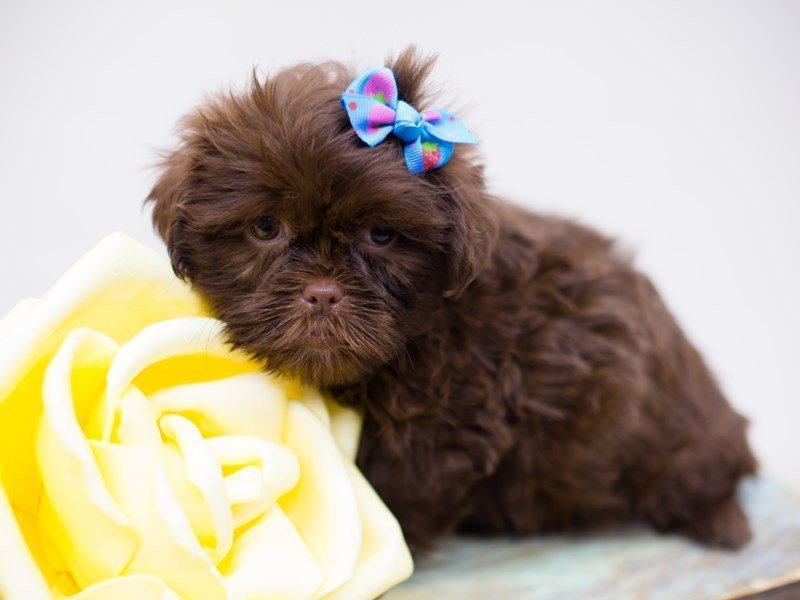 Shih Tzu-Female-Chocolate-2375270-Petland Wichita, KS