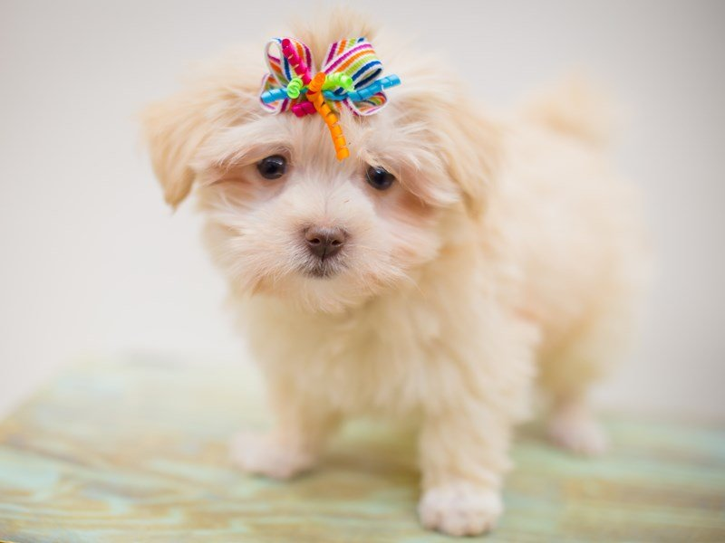 Havanese-Female-Cream-2368434-Petland Wichita, KS
