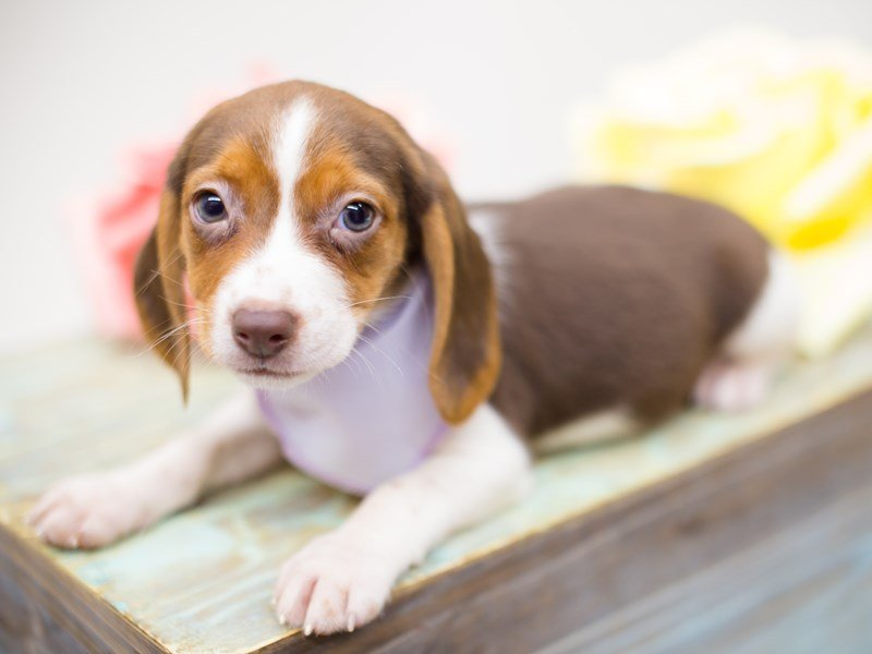 Beagle-Female-Chocolate, White and Tan-2374911-Petland Wichita, KS