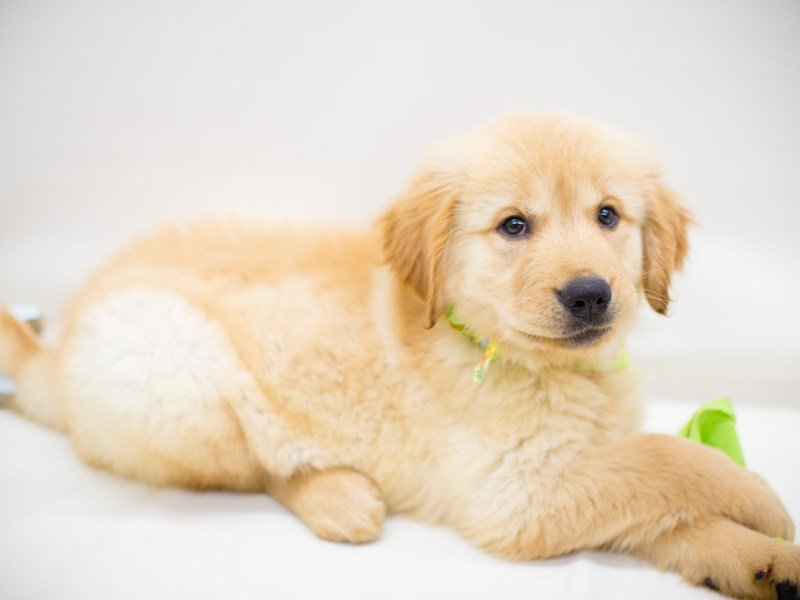 Golden Retriever-Male-Golden-2374826-Petland Wichita, KS