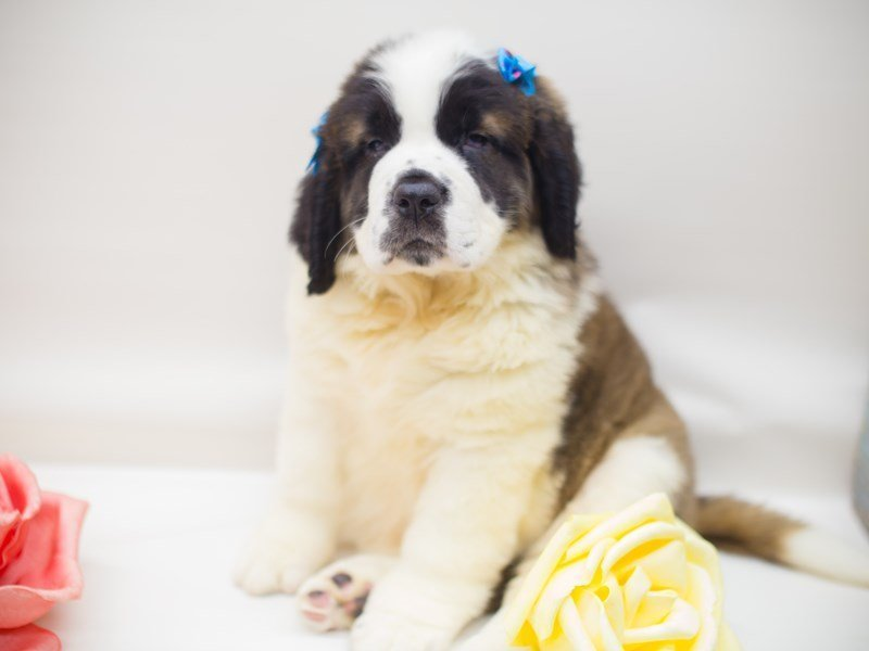 Saint Bernard-Female-Brown & White w/ Black Mask-2373892-Petland Wichita, KS