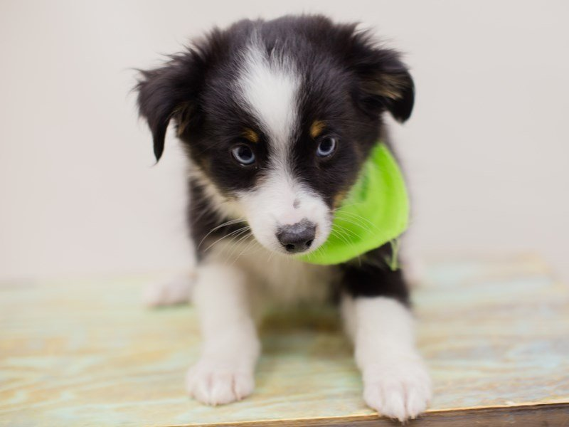 Miniature Australian Shepherd-Male-BLACK TRI W BLUE EYES-2380756-Petland Wichita, KS