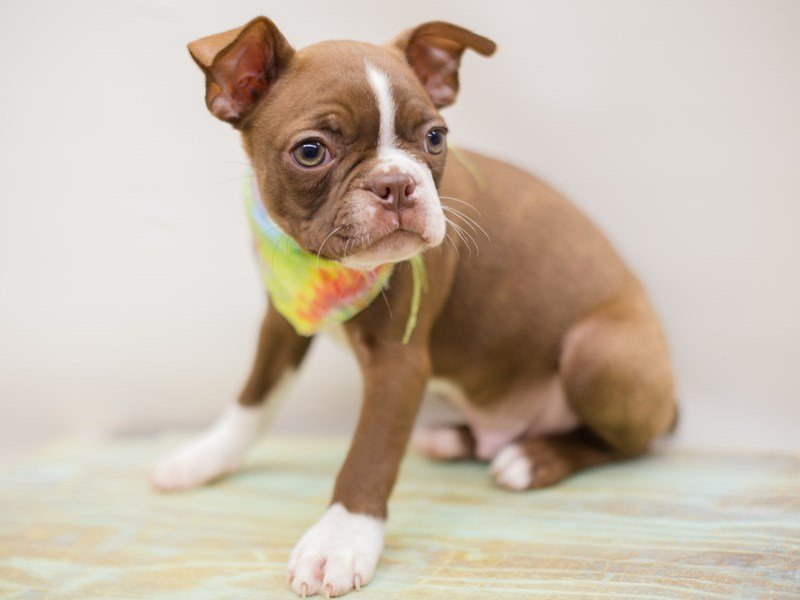 Boston Terrier-Male-SEAL WHITE-2380825-Petland Wichita, KS