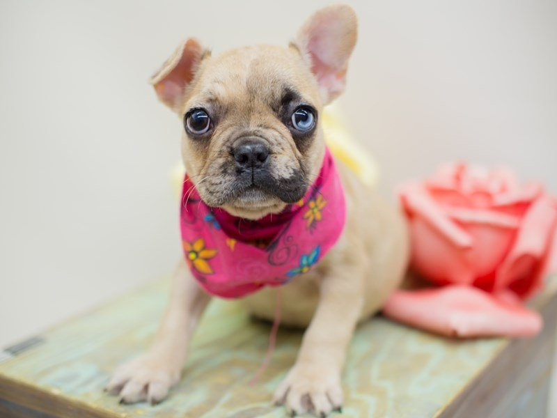French Bulldog-Female-Fawn Merle-2369299-Petland Wichita, KS