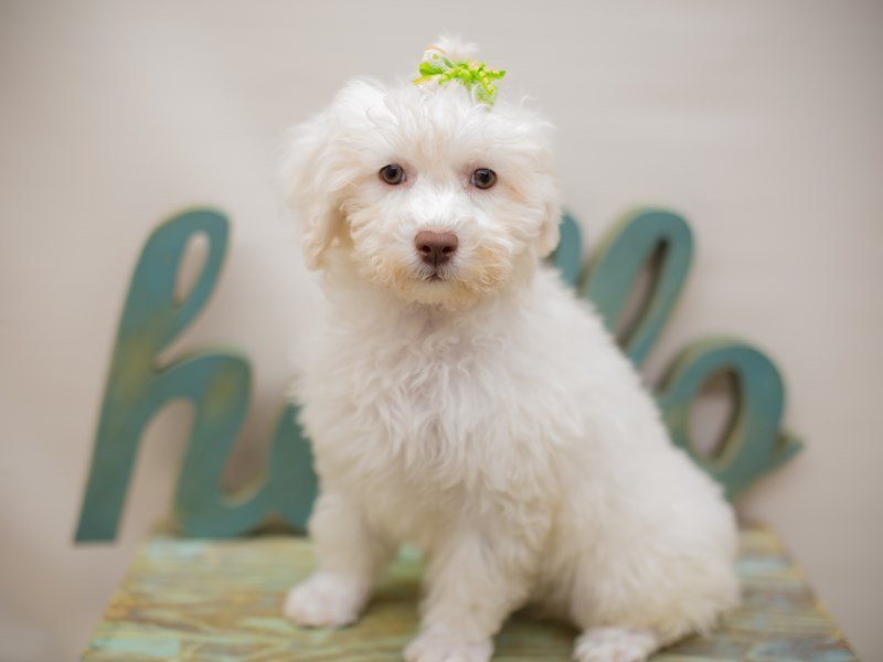 Bichon Frise-Female-White-2379545-Petland Wichita, KS