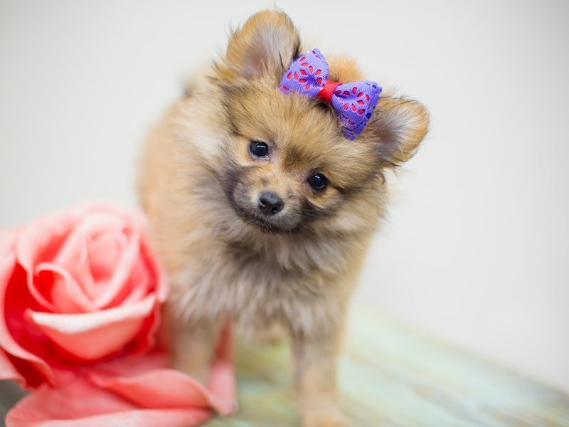 Pomeranian-Female-Sable-2387084-Petland Wichita, KS