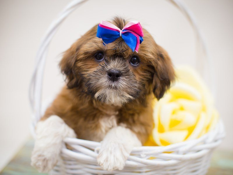 Lhasa Apso-Female--2358452-Petland Wichita, KS