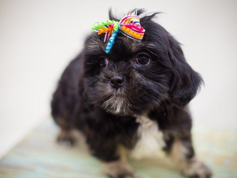 Lhasa Apso-Female--2358449-Petland Wichita, KS