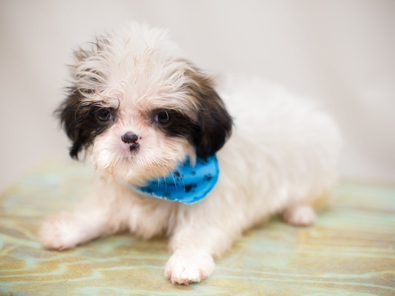 Shih Tzu-Male-Gold and White-2363785-Petland Wichita, KS