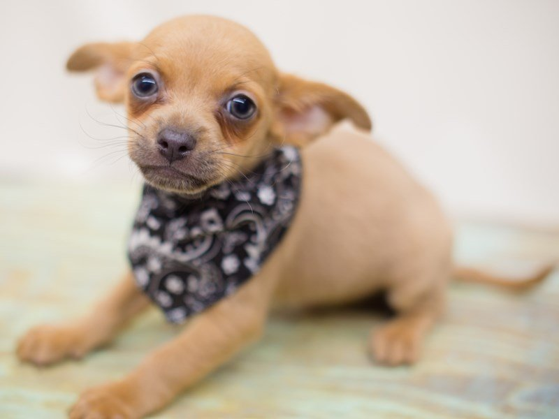 Chihuahua-Male-Sable-2363528-Petland Wichita, KS