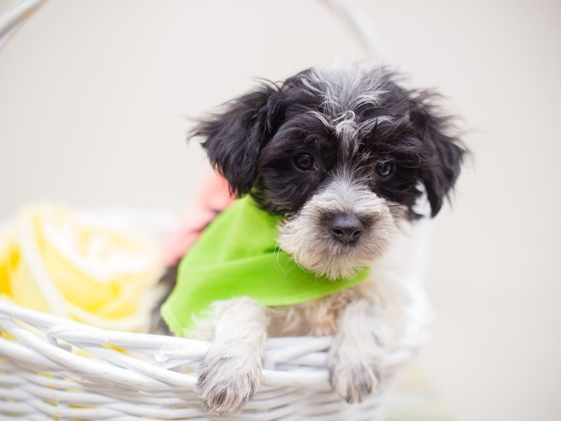 Morkie Poo-Male-Black and White-2375272-Petland Wichita, KS