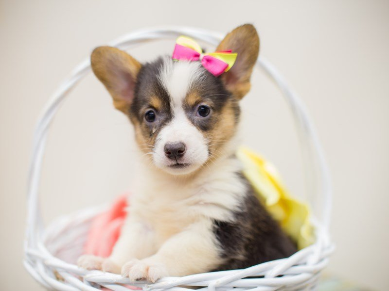 Pembroke Welsh Corgi-Female-Black Tri-2375225-Petland Wichita, KS