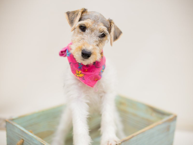 Wire Fox Terrier-Female-Blue Tri-2374883-Petland Wichita, KS