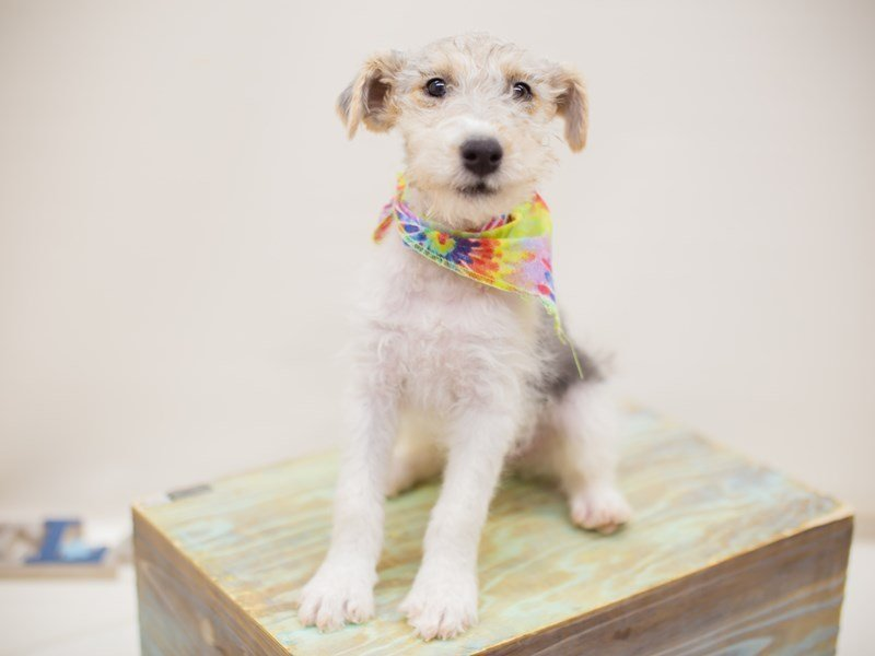Wire Fox Terrier-Male-Blue Tri-2374873-Petland Wichita, KS