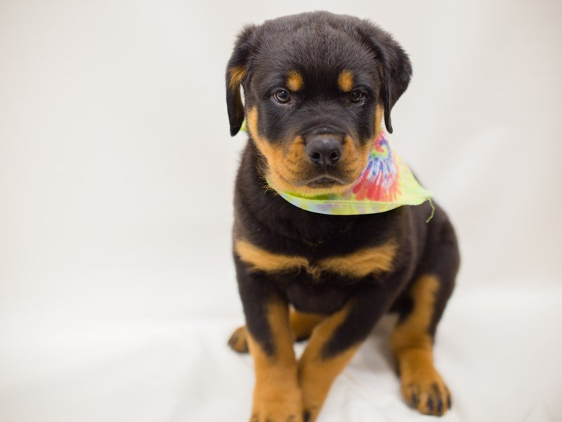 Rottweiler-Male-Black & Mahogony-2379583-Petland Wichita, KS
