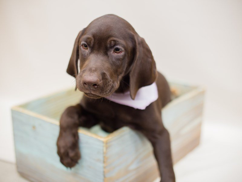 Labrador Retriever-Female-Chocolate-2380531-Petland Wichita, KS
