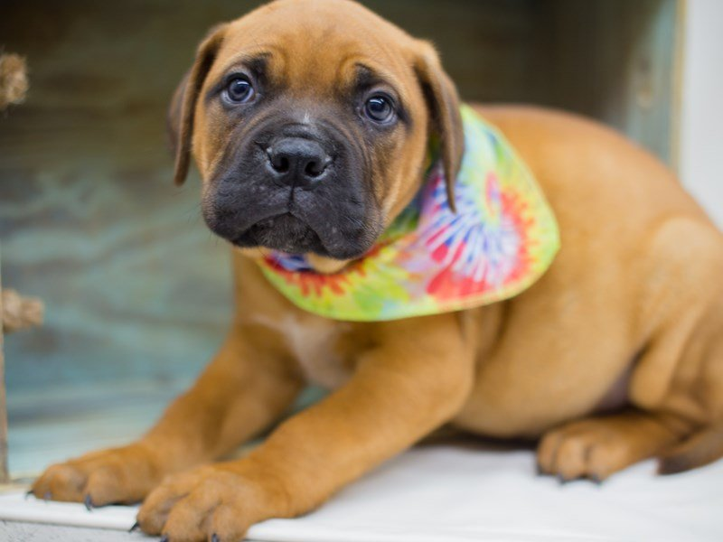 Bull Mastiff-Male-Fawn-2380737-Petland Wichita, KS