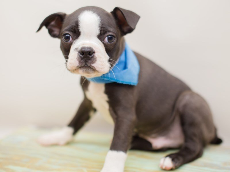 Boston Terrier-Male-BLACK & WHITE-2380845-Petland Wichita, KS