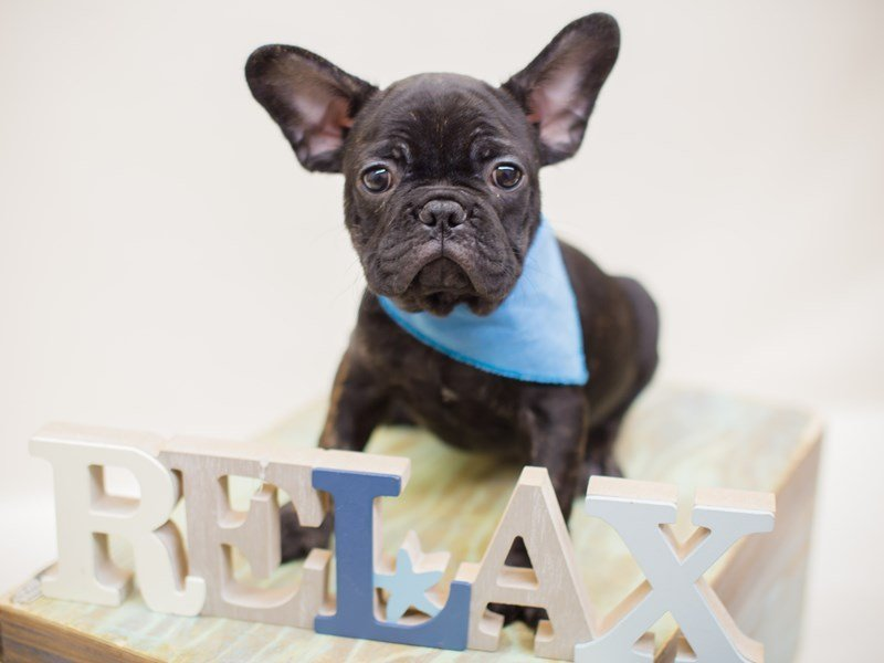 French Bulldog-Male-BLACK & BRINDLE-2380893-Petland Wichita, KS