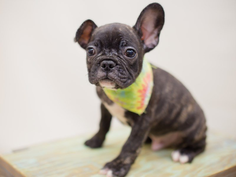 French Bulldog-Male-BLACK & BRINDLE-2380902-Petland Wichita, KS