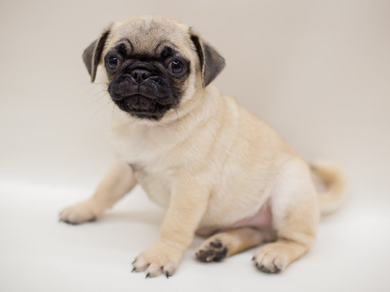 Pug-Male-FAWN-2380991-Petland Wichita, KS