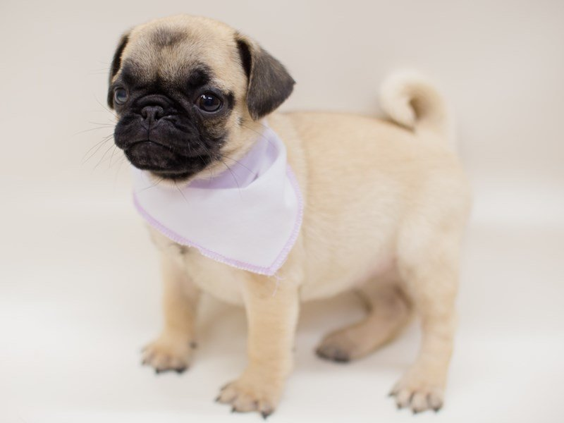 Pug-Female-FAWN-2381014-Petland Wichita, KS