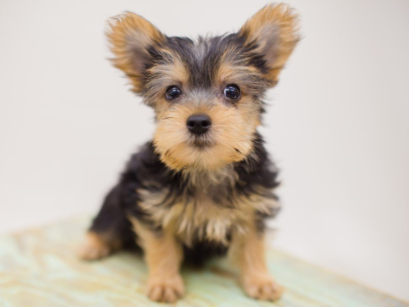 Yorkshire Terrier-Male-Black and Tan-2387528-Petland Wichita, KS