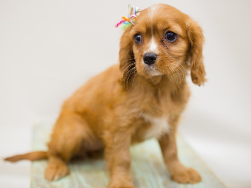 Cavalier King Charles Spaniel-Female-RUBY-2387425-Petland Wichita, KS