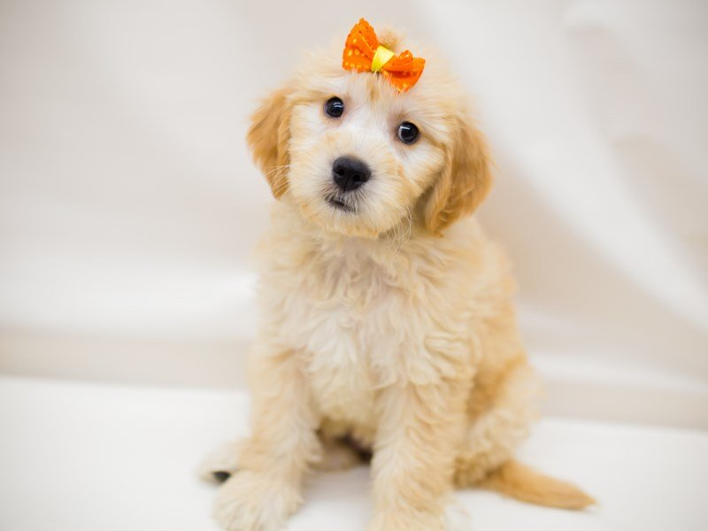Miniature Goldendoodle-Female-Cream-2387362-Petland Wichita, KS