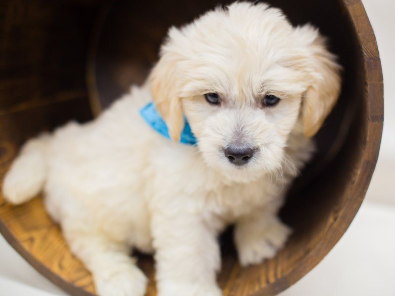Miniature Goldendoodle-Male-Cream-2387326-Petland Wichita, KS