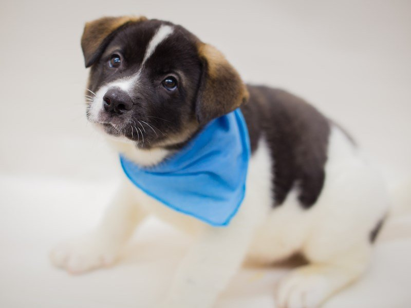 Akita-Male-White & Black Pnto-2385891-Petland Wichita, KS