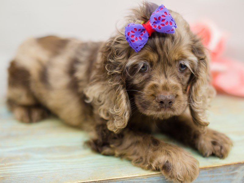 Cocker Spaniel-Female-Chocolate Merle-2385924-Petland Wichita, KS