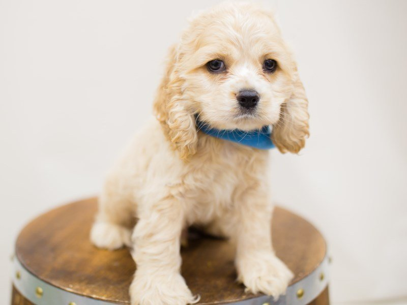 Cocker Spaniel-Male-BUFF-2385930-Petland Wichita, KS