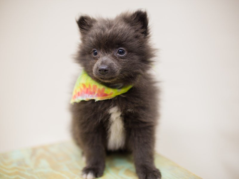 Pomeranian-Male-Blue w/ White on Chest-2387541-Petland Wichita, KS