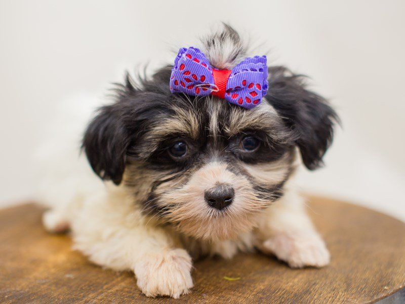 Havanese-Female-Black and White-2387540-Petland Wichita, KS