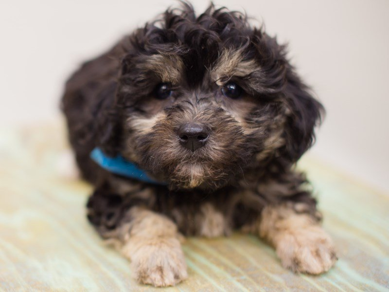 Havanese-Male-Black and Tan-2387537-Petland Wichita, KS