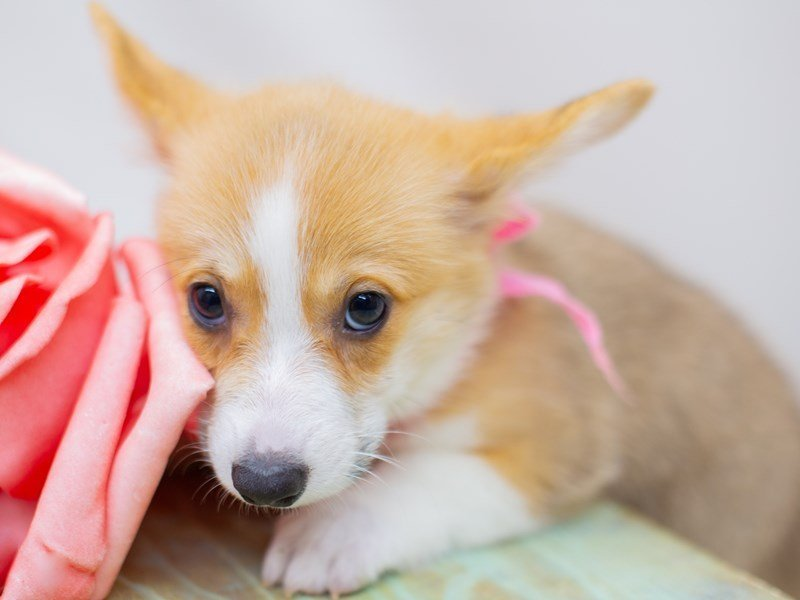 Pembroke Welsh Corgi-Female-Sable & White-2392783-Petland Wichita, KS