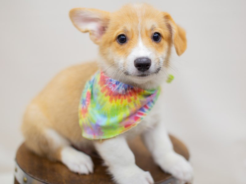 Pembroke Welsh Corgi-Male-Sable & White-2392777-Petland Wichita, KS