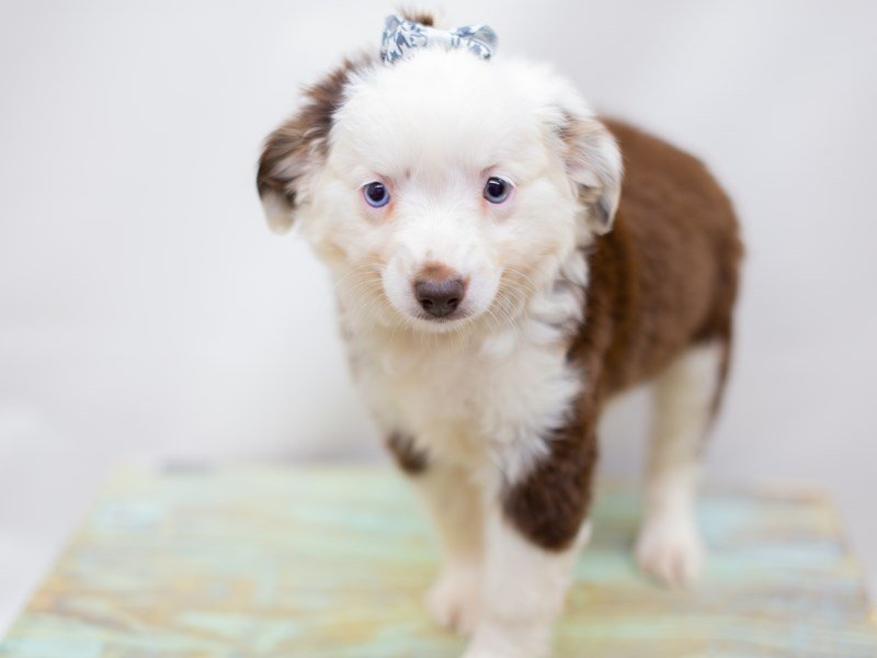 Miniature Australian Shepherd-Female-Red Tri-2392637-Petland Wichita, KS