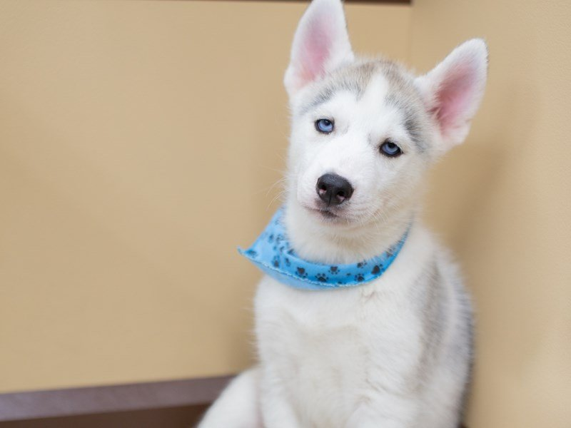 Siberian Husky-Male-GREY & WHITE-2391758-Petland Wichita, KS