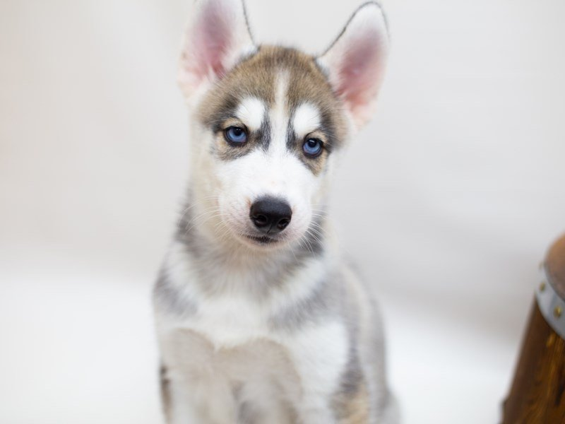 Siberian Husky-Male-GREY & WHITE-2391750-Petland Wichita, KS