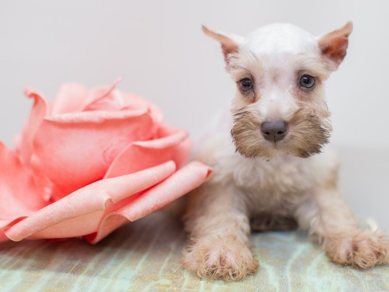 Miniature Schnauzer-Female-Silver-2399074-Petland Wichita, KS