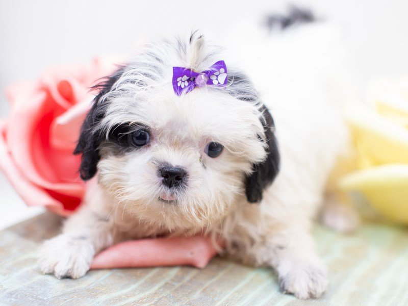 Shih Tzu-Female-White w/ Black-2399061-Petland Wichita, KS